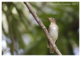 Swainson's Thrush (Catharus ustulatus) SWTH - A Migratory Stop before Leaving the USA