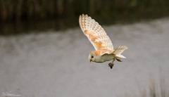 Successful Barn Owl (Steve (Hooky) Waddingham) Tags: stevenwaddinghamphotography bird british barn wild wildlife nature northumberland night nest flight prey voles mice