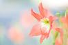 Amaryllis (pramuditalina) Tags: d90nikon macrolenssigma150mm floweramarillys color peach mygarden lightroom