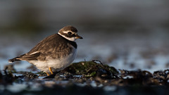 Seaside bird (Pascal Bernardin) Tags: grandgravelot commonringedplover charadriushiaticula
