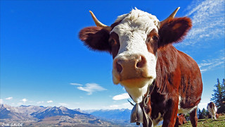 Vache-6047