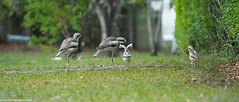 "Bush Stone-Curlew • <a style=""font-size:0.8em;"" href=""http://www.flickr.com/photos/146187037@N03/37802042081/"" target=""_blank"">View on Flickr</a>"