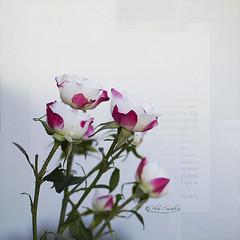 Ramillete (Panthea616) Tags: rosas texturas felicitación
