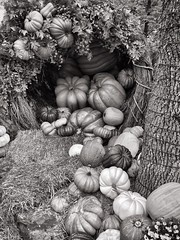 B&W Pumpkin pile (Pejasar) Tags: tree bark pumpkins bw blackandwhite fall autumn october halloweenseason iphone6plus straw