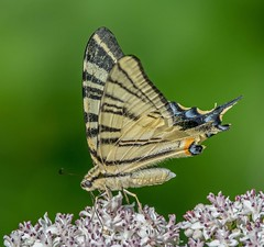 DSC5023  Scarce Swallowtail.. (jefflack Wildlife&Nature) Tags: swallowtail butterfly butterflies insect insects lepidoptera dordogne france wildlife moorland meadows marshland heathland hedgerows countryside copse wildflowers flowers nature scarceswallowtail