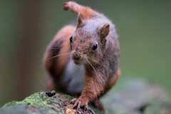 Red Squirrel (Explored) (Gareth Keevil) Tags: autumn curious cute detail fluffy fluffytail garethkeevil hawes nationalpark nikon northyorkshire red redsquirrel snaizeholme squirrel uk upclose whiskers woodland yorshiredales