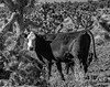 0246937314-93-Baby Calf and Moma Cow in the Nevada Desert-4-Black and White (Jim There's things half in shadow and in light) Tags: america canon5dmarkiv cathedralgorge lincolncounty nevada sigma24105mmf4dg southwest us desert cow animal cattle blackandwhite delmarvalley