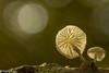 Mushrooms-4 (niekeblos) Tags: mushroom mushrooms parasol parasolmushroom autumn autumncolours nature macro canon60d bokeh