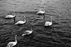 Swans in line in Prague (ConDaoultzis) Tags: bird water swan wildlife river outdoor blackandwhite noperson monochromephotography ducksgeeseandswans white group close floating pool flying outdoors boat swimming