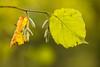 Herbstträumerei (Gerosas) Tags: aposonnart2135 baum blatt bokeh hasel herbst herbstlaub natur offenblende oktober pflanze remsmurrkreis remstal test unteresremstal vergleich waiblingen zeiss