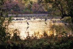 golden morning (avflinsch) Tags: ifttt 500px park water geese pond heron early morning