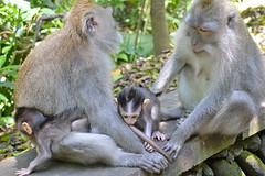 Famille de singes à la Monkey Forest