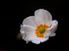 秋明菊 (Polotaro) Tags: tamronsp90mmf28macro1172b flower nature olympus epm2 pen 花 自然 オリンパス ペン シュウメイギク 10月 garden 庭