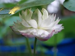 Nelumbo nucifera 'Fen Ling Long 13' Lotus Wahgarden 003 (Klong15 Waterlily) Tags: lotus lotusflower flower pond lotusland landscape smalllotus chineselotus thailandlotus garden wahgarden