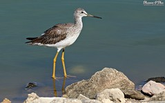 Rocks and socks (Shannon Rose O'Shea) Tags: shannonroseoshea shannonosheawildlifephotography shannonoshea shannon bird greateryellowlegs thecityofhendersonbirdviewingpreserve henderson nevada hendersonbirdviewingpreserve beak feathers wings yellowlegs yellowfeet colorful outdoors outdoor nature wildlife waterfowl flickr wwwflickrcomphotosshannonroseoshea wild wildlifephotography photo photography camera canon canoneos80d canon80d eos80d 80d canon100400mm14556lisiiusm wading wadingbird tringamelanoleuca shorebird rocks fauna brown white yellow water pond