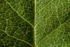 Terrain (Explore 10/31/2017) (CJH Natural) Tags: terrain leaf blatt green shadow macro makro natural naturalphotography vein life