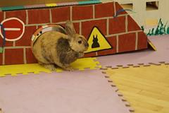 Rabbit Fest 2017 (Tjflex2) Tags: rabbitfest 2017 vancouver bc agilitycourse rabbit vrra bunnies bunny lapin conejo