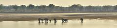 _DSC2431. Elefanter krysser Luangwa River. (Berit Christophersen) Tags: elefanter africanelephant afrikanskelefant zambia elephant southluangwanationalpark luangwariver safari sonyalpha kafuntasafaris loxodontaafricana
