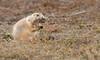 Preparing for Winter (Rick Derevan) Tags: badlandsnp mammal prairiedog southdakota wildlife wall unitedstates badlands badlandsnationalpark droh dailyrayofhope