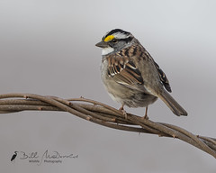 White-throated Sparrow (Bill McDonald 2016) Tags: perched perching branch sparrow newworld boreal ontario eastern