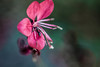 Partage... (Nanouch@) Tags: fleur insecte fourmi insect insecto flor flower outdoor garden bokeh macro proxy jardin extérieur rose pink blossom macrounlimited