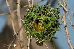 Tisserin gendarme dans son nid (denisfaure973) Tags: mps baringo masaimara oiseau