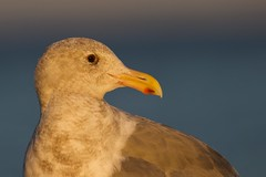 Glaucous-winged Gull 2956