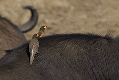 Yellow-billed Oxpecker Queen Elizabeth National Park Uganda_ZM45974 (www.sabrewingtours.com) Tags: queen elizabeth national park uganda november africa mammal african yellowbilled oxpecker yellow bill symbiotic relationship sabrewing nature tours snt brian zwiebel photo bird water buffalo