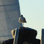 Gull - Key West thumbnail