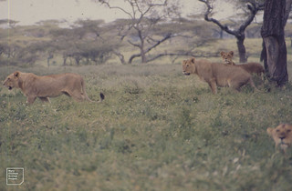 Lion family move away from claw sharpening tree. Ndutu