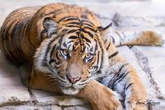 Nelson (ToddLahman) Tags: nelson sumatrantiger teddy joanne beautiful tiger tigers tigertrail exhibitb canon7dmkii canon canon100400 closeup mammal male outdoors portrait escondido eyelock