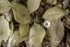 Margherita net (CrisRotaru) Tags: margherita margareta autunno toamna herbst giallo gelb galben pentax k3 35mm hdr art