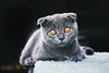 Maurice - The Scottish Fold (WhiteShipDesign) Tags: cute fur kitten animal cat scottish domestic young feline purebred fold closeup scottishfold looking pet gray portrait eyes hair grey kitty british beautiful adorable pretty fluffy isolated close face shorthair britishshorthair