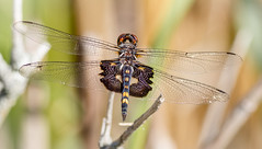 Black Saddlebags Dragonfly (tresed47) Tags: 2017 201710oct 20171002bombayhookbirds blacksaddlebag bombayhook canon7d content delaware dragonflies fall folder insects october peterscamera petersphotos places season takenby us ngc