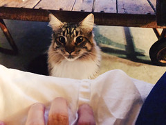 282/365 (moke076) Tags: 2017 365 project 365project project365 oneaday photoaday vsco vscocam cell cellphone iphone mobile jake cat animal pet grey gray tabby maine coon purebred kitty self selfie me portrait hand playing teasing