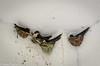 black-nest swiftlet - zwartnest salangaan - Aerodromus maximus (hayastanlover) Tags: maleisië malaysia