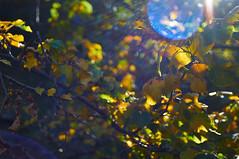 [Explore #480] Autumn Bokeh (Froschkönig Photos) Tags: harz oktober 2017 golden goldeneroktober bokeh bubbles lensflare blätter leaves sonne sun gegenlicht nex5r flektogon 35mm zeiss wandertag wanderung explore