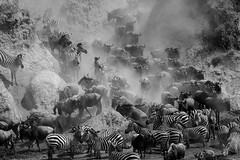 Mara Safari-8995.jpg (MudflapDC) Tags: africa safari herd marariver water vacation mara porinilioncamp plains zebra kenya greatmigration jump gamewatchers wildebeast maasaimara leap dive bw crossing wilderness masai