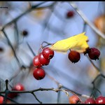 Red berry with yellow leaf on a branch thumbnail