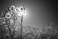 Fall Glow (Never Exceed Speed) Tags: field flowers seed colorado horsetoothrock nature backlit blackandwhite flora wildlettuce plant