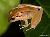 Isla Bonita Robber Frog (Partridge Road) Tags: costaricanamphibianresearchcenter siquirres costarica isla bonita robber frog