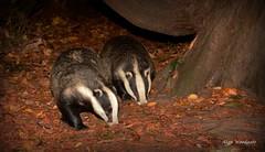 Badgers - Buckinghamshire (Alan Woodgate) Tags: badgers wild uk flash autumn