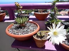 Echinopsis subdenudata floraison, Euphorbia flanaganii... (Pankreator) Tags: echinopsis subdenudata floraison cactus euphorbia flanaganii