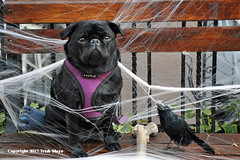 Caught In The Web (Trish Mayo) Tags: frenchbulldog dog spiderweb halloween coth coth5