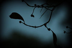 Beauty in bleakness.... (SquireRoss) Tags: wintersoltice bleak blue leaves branches trees moods despair silhouette