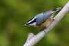 Red-breasted Nuthatch (brian.bemmels) Tags: sittacanadensis sitta canadensis redbreasted nuthatch redbreastednuthatch richmond bc canada britishcolumbia backyard backyardbirds bird male