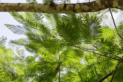 tree, Palenque