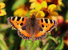 Butterfly (LuckyMeyer) Tags: friends schmetterling kleiner fuchs makro sun summer orange yellow black butterfly insect