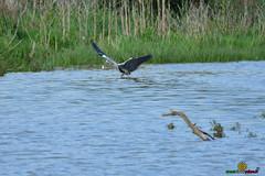 a_LUR_3389 (OrNeSsInA) Tags: byrdaironi aironi byrd uccelli natura airon cormorani folaghe trasimeno lago umbria lucarosi toscana passignano montedellago perugia insetti farfalle nikon tamron chiusi pesca tuoro castiglionedellago