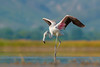 Greater Flamingo Dancing (Irtiza Bukhari) Tags: wwf wwfpakistan dancing dance water saltrange lake pink beautyofnature birdsofpakistan wildlifeofpakistan wildbird wildlife one bird birdinpond pondbird wadingbird wader flamingo pakistan nature beauty bukhari irtiza